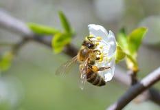 Kwitnąć gałąź z kwiatem czereśniowy drzewo i miodowa pszczoła Fotografia Stock