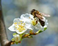 Kwitnąć gałąź z kwiatem czereśniowy drzewo i miodowa pszczoła Fotografia Royalty Free
