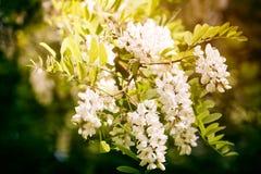 Kwitnąć gałęziasty biała akacja w ranków promieniach powstający słońce Niebieskie niebo w tle obraz royalty free