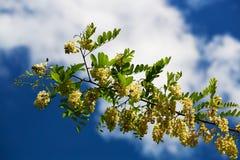 Kwitnąć gałęziasty biała akacja w ranków promieniach powstający słońce Niebieskie niebo z chmurami w tle obraz royalty free