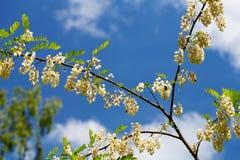 Kwitnąć gałęziasty biała akacja w ranków promieniach powstający słońce Niebieskie niebo z chmurami w tle fotografia royalty free