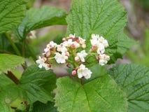 Kwitnąć Highbush Cranberry zdjęcia royalty free
