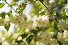 Kwitnąć jaśminu kwitnie na pogodnym letnim dniu fotografia royalty free