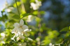 Kwitnąć jaśminu kwitnie na pogodnym letnim dniu zdjęcie royalty free