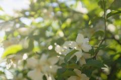 Kwitnąć jaśminu kwitnie na pogodnym letnim dniu obraz royalty free