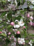 Kwitnąć jabłka i chafer Obraz Stock