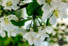 Kwitnąć jabłka i mrówek na swój liściach Obrazy Stock