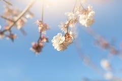 Kwitnąć jabłka po deszczu na wiosny tle Przestrzeń dla teksta Zdjęcia Stock