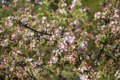 Kwitnąć jabłka w wiośnie Zdjęcie Stock