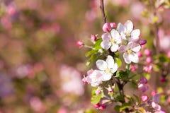Kwitnąć jabłka w wiośnie Obraz Royalty Free