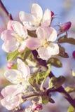 Kwitnąć jabłka w wiośnie Zdjęcia Stock