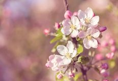 Kwitnąć jabłka w wiośnie w różowym retro kolorze Zdjęcia Stock