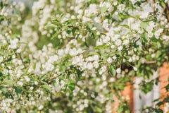 Kwitnąć jabłoń Jabłonie kwitnęli Kwiaty na drzewie Zdjęcia Royalty Free