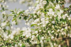 Kwitnąć jabłoń Jabłonie kwitnęli Kwiaty na drzewie Obrazy Stock