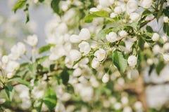 Kwitnąć jabłoń Jabłonie kwitnęli Kwiaty na drzewie Obraz Stock