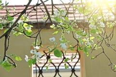 Kwitnąć jabłoń przeciw tłu piękny okno robić kratownicy fotografia stock