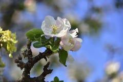 Kwitnąć jabłoń w wiosna czasie z pięknymi kwiatami fotografia royalty free