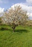 Kwitnąć jabłoni, baden Obraz Stock