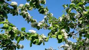 Kwitnąć jabłoni gałąź na nieba tle