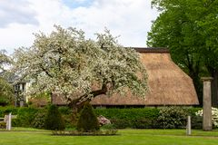 Kwitnąć jabłoni przed domem wiejskim z pokrywającym strzechą ro fotografia stock