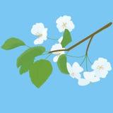 Kwitnąć jabłoni wiosny gałązkę na błękicie Fotografia Stock