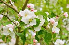 Kwitnąć jabłonie Obrazy Royalty Free