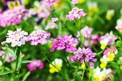 Kwitnąć kolorowego Iberis amara kwiaty Obrazy Royalty Free