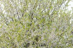 Kwitnąć krzak śliwkowej wiosny kolorowego tło Fotografia Royalty Free
