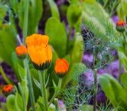 Kwitnąć kwiat nasturci zdjęcie royalty free