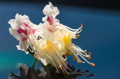 Kwitnąć kwiaty cisawy zbliżenie, wiosna Zdjęcie Royalty Free