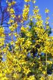 Kwitnąć kwiaty forsycje z płytką głębią pole Wiosna kwitnie w ogródzie botanicznym Selekcyjna ostrość Obrazy Stock