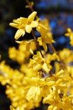 Kwitnąć kwiaty forsycje z płytką głębią pole Wiosna kwitnie w ogródzie botanicznym Selekcyjna ostrość Obrazy Royalty Free