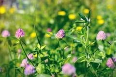 Kwitnąć - kwitnąć czerwoną koniczynę Zdjęcie Stock