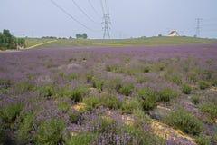 Kwitnąć lawendy pole w pogodnym lecie Obrazy Royalty Free