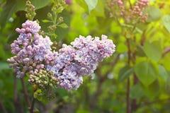 Kwitnąć lilego kolorowego wiosna krzaka fotografia royalty free