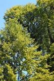 Kwitnąć lipową gałąź w Czerwa dniu Obrazy Royalty Free