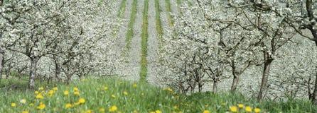 Kwitnąć młodego śliwka ogród, odgórny widok, piędź truteń nad śliwkowym kwitnieniem fotografia royalty free