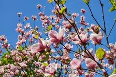 Kwitnąć magnoliowy Soulangeana w wiośnie Fotografia Royalty Free