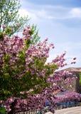 kwitnąć migdałowych drzewa Zdjęcia Royalty Free