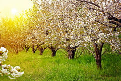 Kwitnąć owoc ogród przy zmierzchem Fotografia Royalty Free