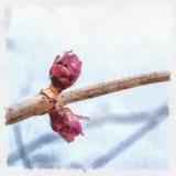 Kwitnąć pączków elderberries ilustracji