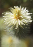 Kwitnąć Phylica pubescens Zdjęcie Royalty Free