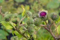 Kwitnąć pięknego kwiatu z łopianowymi prickles zdjęcia royalty free