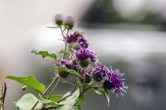Kwitnąć pięknego kwiatu z łopianowymi prickles Arctium lappa Wielki łopian Jadalny łopian z bliska Selekcyjna ostrość zdjęcia stock