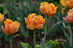 Kwitnąć pomarańczowych tulipany w ogródzie zdjęcia royalty free
