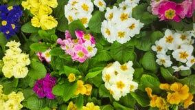 Kwitnąć primula vulgaris kwiaty obrazy royalty free