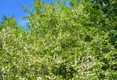 Kwitnąć ptasiego czereśniowego drzewa Fotografia Royalty Free