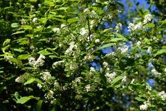 Kwitnąć ptasiego czereśniowego drzewa Zdjęcie Stock