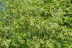 Kwitnąć ptasiego czereśniowego drzewa Zdjęcie Royalty Free
