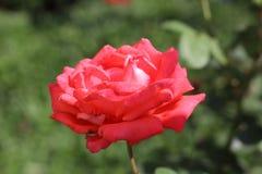 Kwitnąć róża zdjęcia royalty free